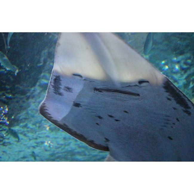 The happiest sting ray I've ever seen 😁 Blueplanetaquarium Stingray Cute Smile Aquarium Sealife