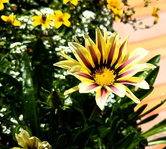 Flower Petal Nature Flower Head Freshness Yellow Day Pollen Blooming Outdoors Growth Plant Beauty In Nature No People Close-up Gazania