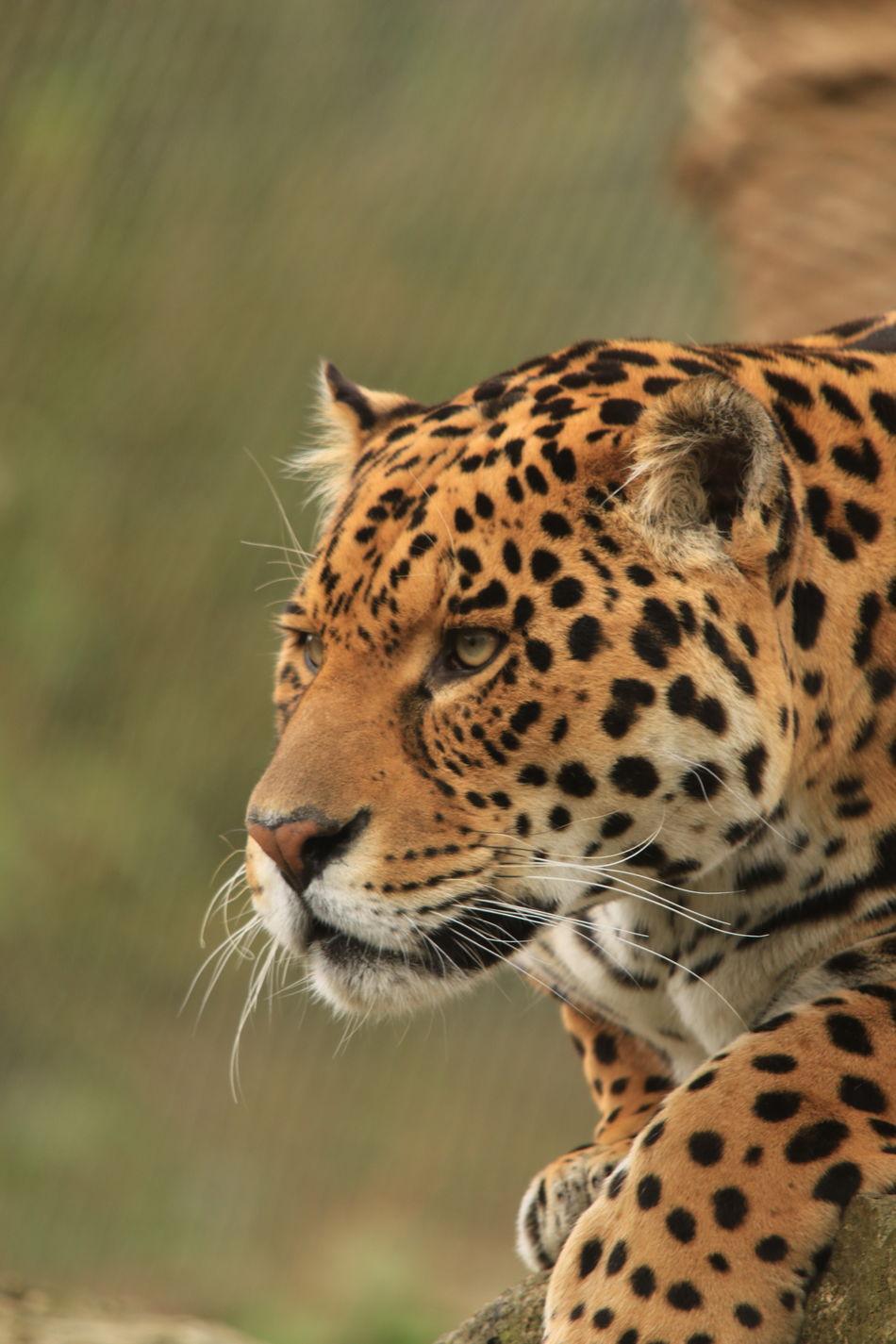Beautiful stock photos of jaguar, Alert, Alertness, Animal Body Part, Animal Head