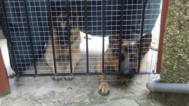 Animal Themes Two Animals Two Dogs Dogs German Shepherd German Shepherds Domestic Animals Gate Behind The Fence... Behind Guarding Guarding The Garden Resting Laying Down Dogs Relaxing Mesh Canines
