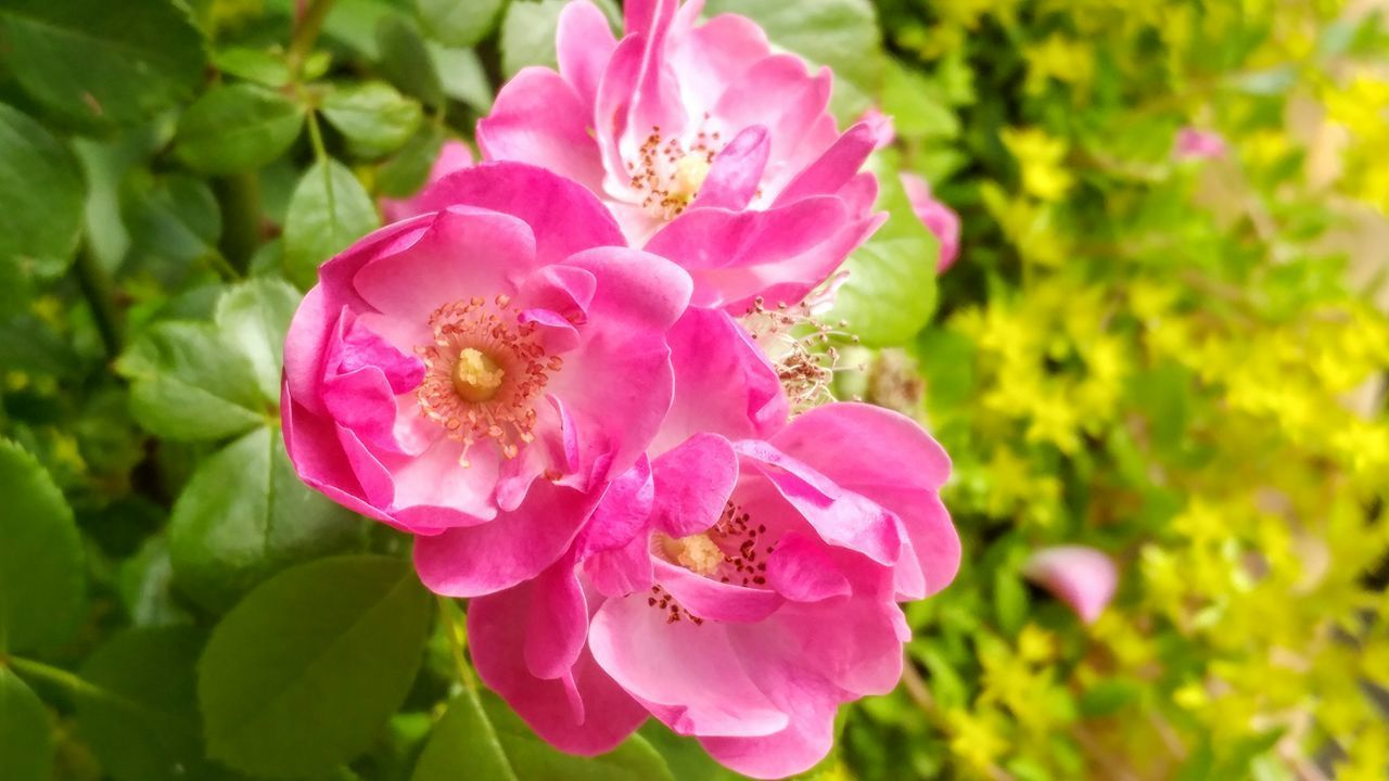 Flower Pink Color Nature Plant Roses Flowers  Beauty In Nature Petal Close-up Outdoors Flower Head No People Day Growth Fragility