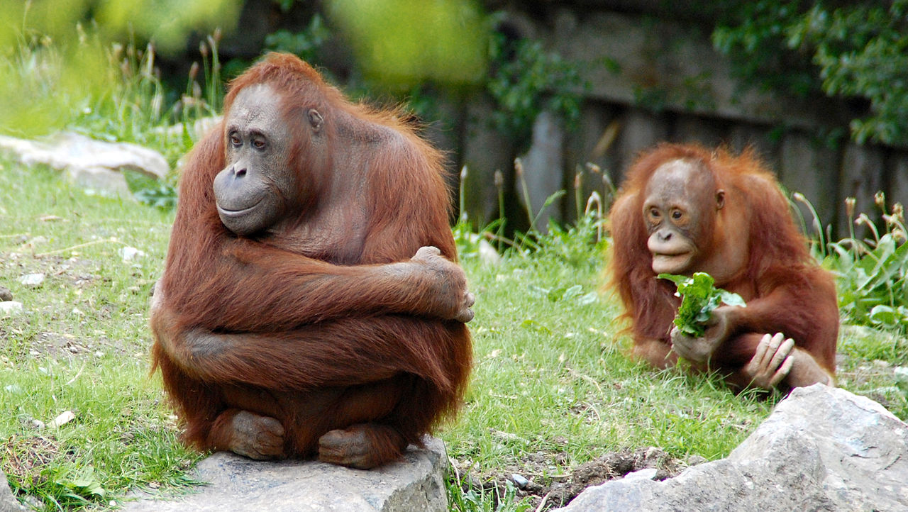 animals in the wild, two animals, orangutan, mammal, monkey, day, no people, animal themes, ape, animal family, outdoors, animal wildlife, young animal, nature, grass, close-up