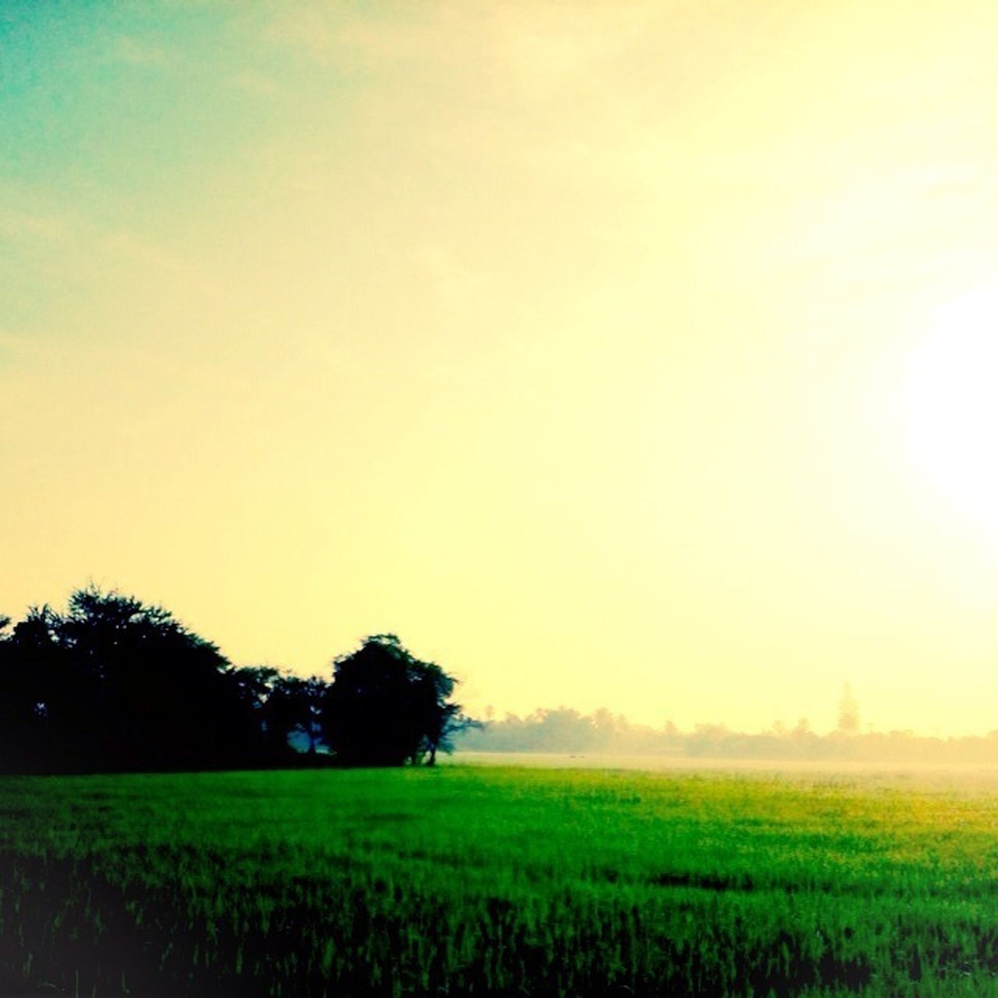 field, landscape, tranquil scene, agriculture, tranquility, rural scene, tree, beauty in nature, growth, scenics, farm, nature, crop, grass, cultivated land, sunset, sky, green color, clear sky, idyllic
