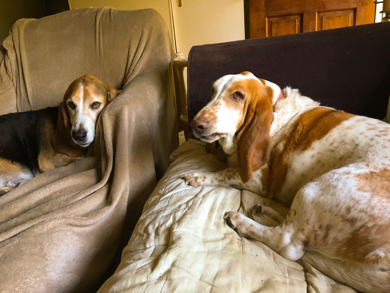 Watching TV Check This Out Enjoying Life Hanging Out Relaxing Rescuedbassethound Myseniorhound Color Photography Posing For The Camera Bassetworld Bassetphotography Bassetmoments Ilovebassethounds Iphonephotography