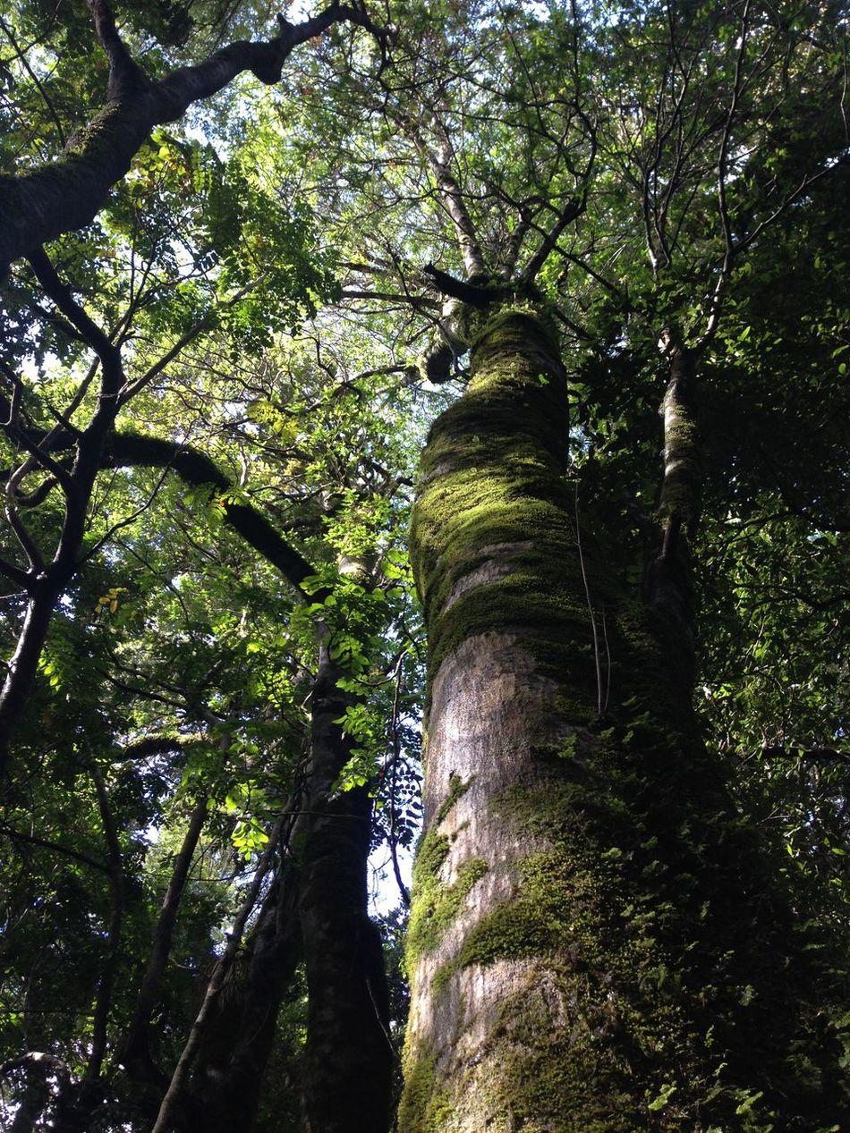 Canopy Chile Forest Life Green Huilohuilo Notofagus Reserva Biológica Huilo-Huilo South Of Chile