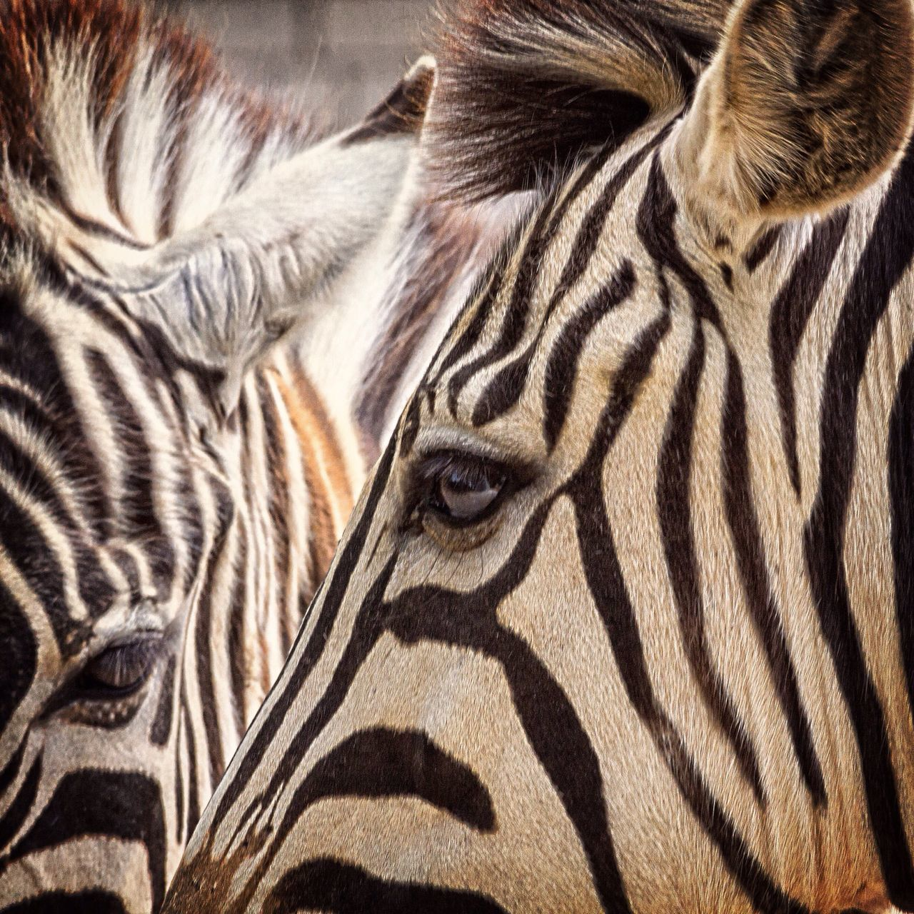 Beautiful stock photos of zebra, Animal Eye, Animal Markings, Animal Themes, Animals In The Wild