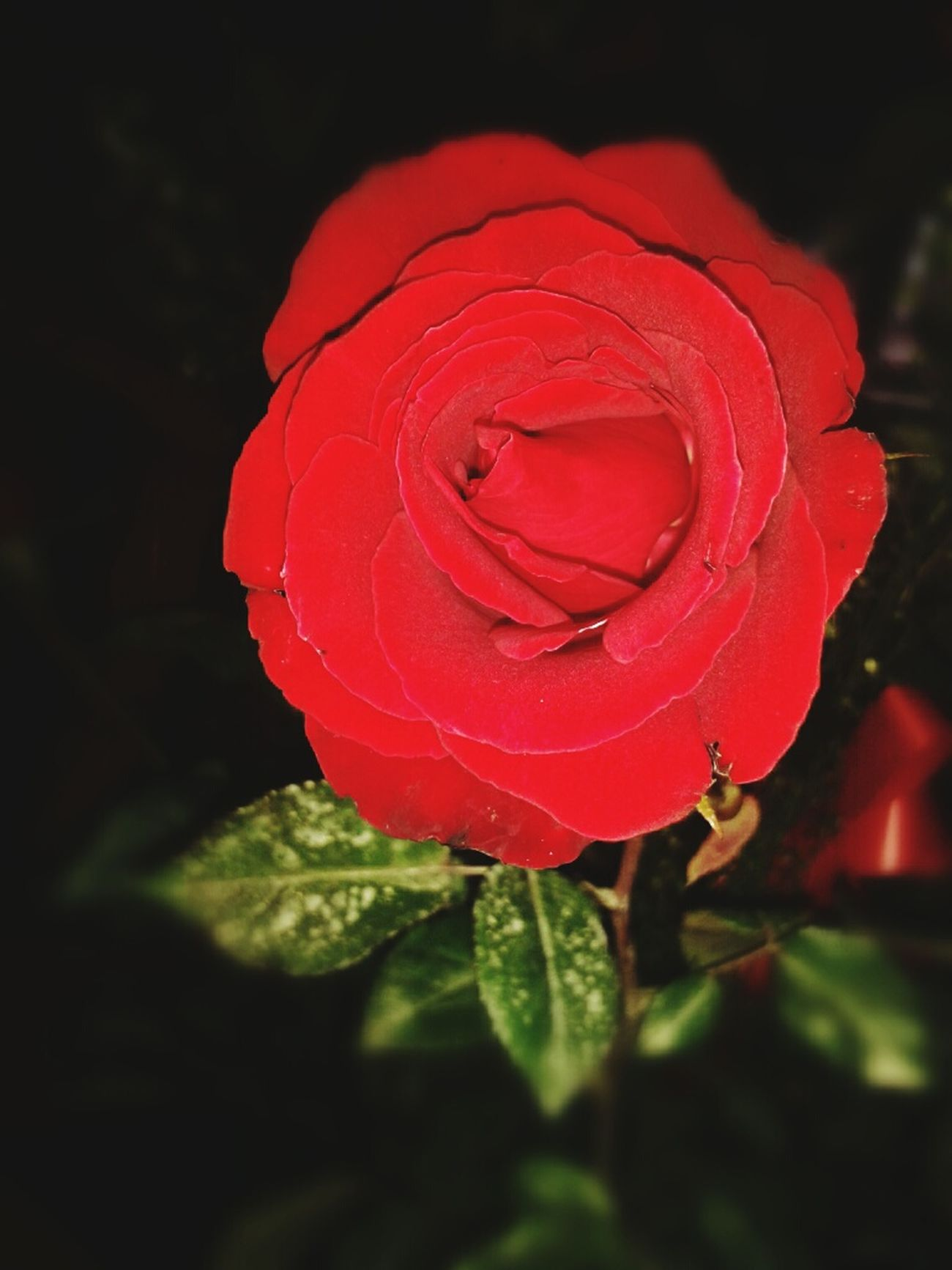 Red rose for the month of February ♥