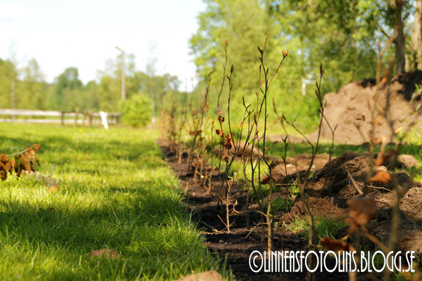 Hedge Planting Summer check out http://linneasfotolins.blogg.se