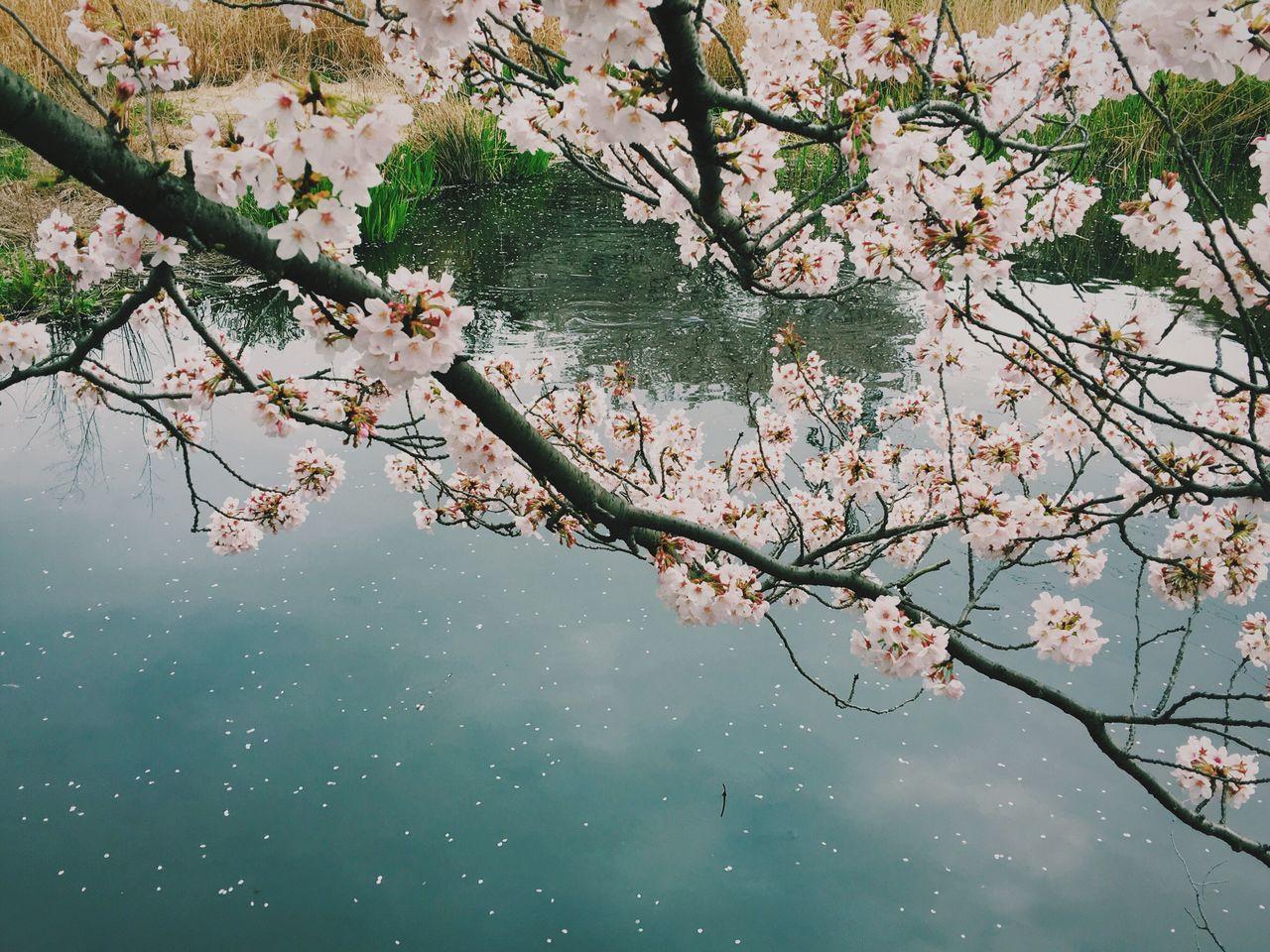 Sakura Cherryblossom Spring In Japan 水辺の桜 In Bloom