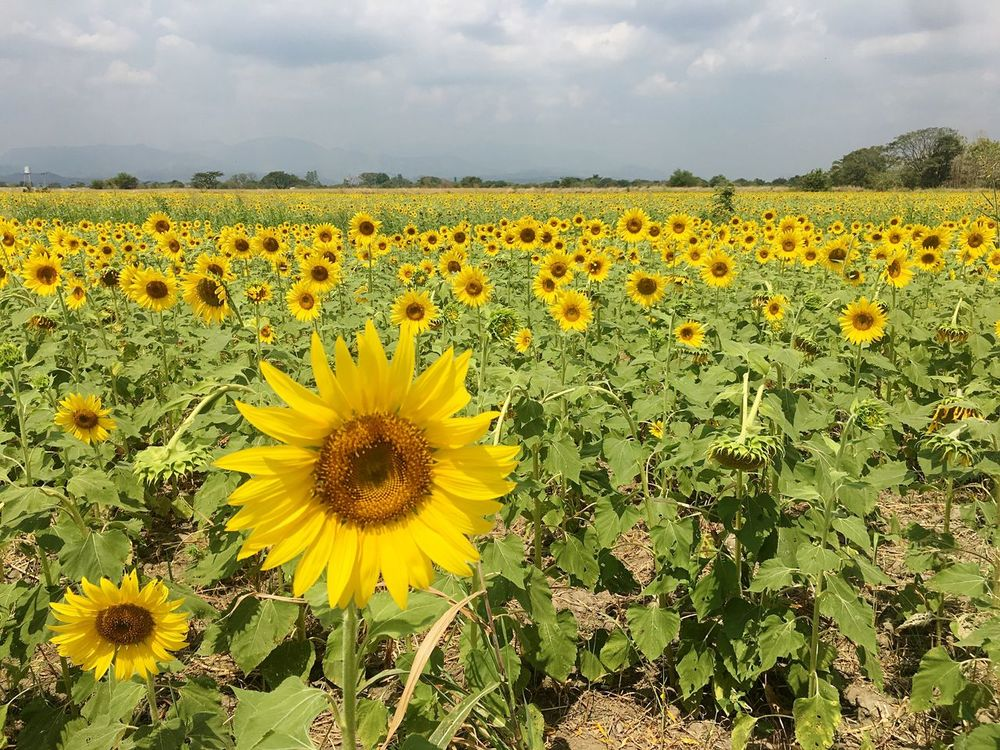 Girasol Sunflower🌻 Sunflowers🌻 Sunflowers Landscape Agriculture Springtime Outdoors No People Scenics Flower Beauty In Nature Yellow Nature Growth Fragility Field Freshness Sky Petal Flower Head Sunflower Rural Scene Agriculture Plant
