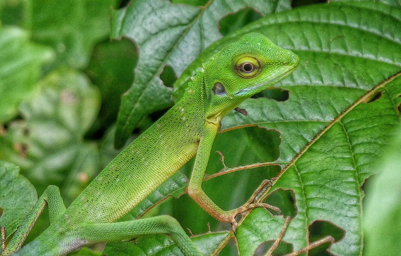 Green Lizard Lizard Watching Eyeem Lizards Lizard Nature On Your Doorstep Kuala Lumpur EyeEm Best Shots - Nature EyeEm Best Shots - Macro / Up Close EyeEm Macro Lover EyeEm Macro
