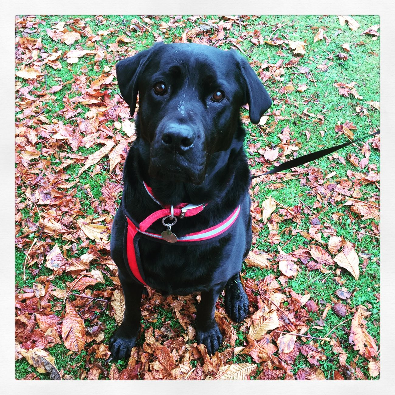 Dog Autumn Leaves Tank Aston Dogwalk Countrywalk Walking