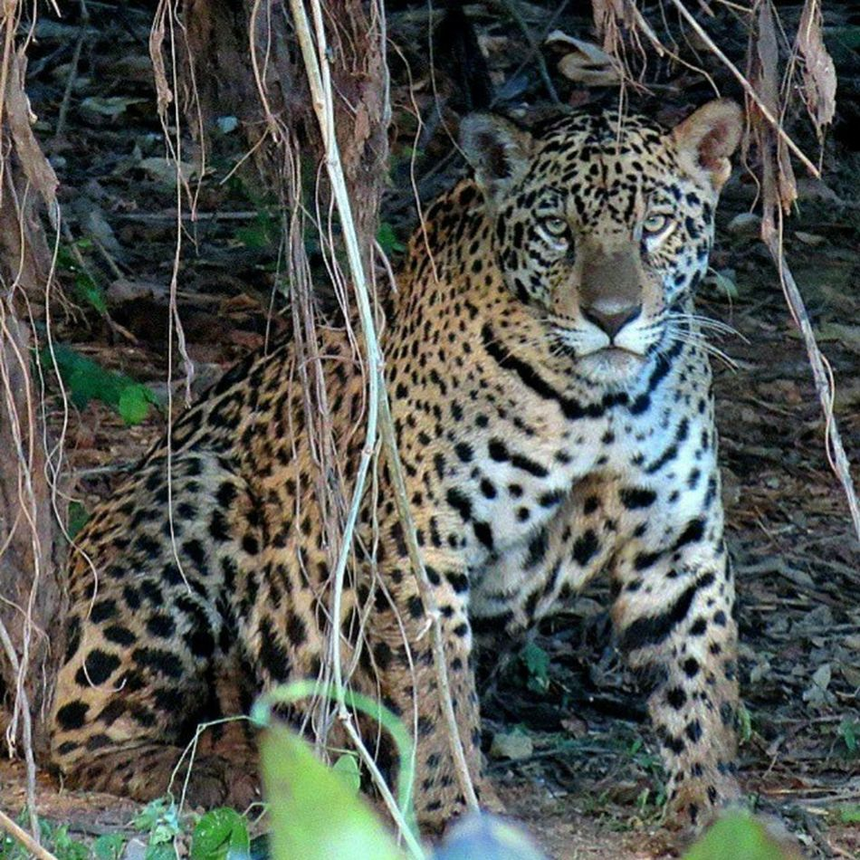 Onça-pintada / Jaguar (Panthera onca). Pantanal Matogrossense - Brasil. JAGUAR Panthera  Pantanal Mammals Wildlifeconservation Brasil Brazil Bresil  World Nature PantanalMt MatoGrossoéLindo MtcomVc Southamerica IloveBrazil VisitBrazil Foto: Danilo Mota