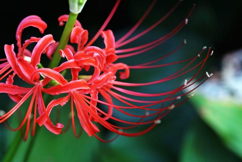 曼珠沙華 Cluster Amaryllis Flowerporn Macro_collection Nature_collection