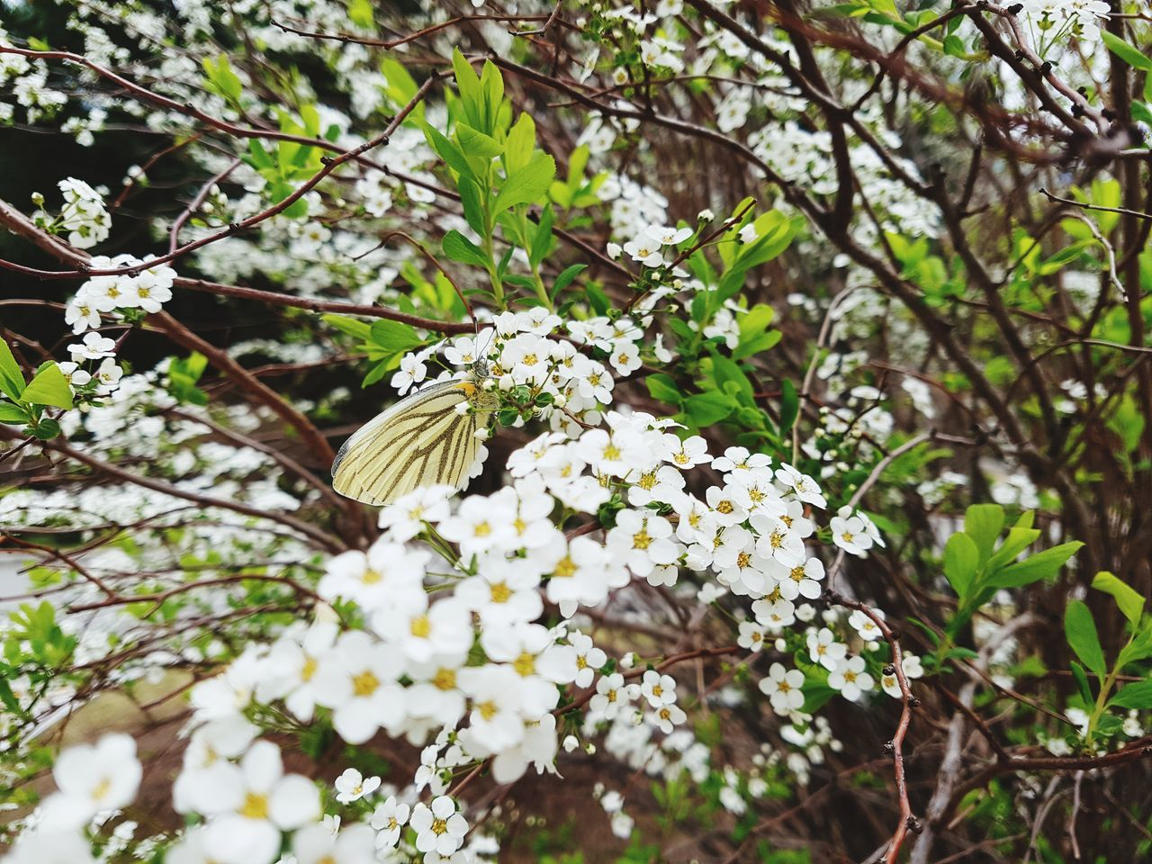 flower, fragility, growth, beauty in nature, nature, freshness, petal, white color, flower head, day, blooming, outdoors, blossom, no people, plant, one animal, springtime, close-up, pollination, branch, animal themes, tree