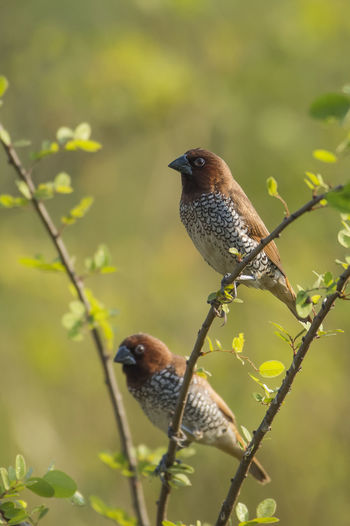 Pair of Scaly Breasted Munia Sitting on Branch Beak Finch Scaly Breasted Munia Spotted Animal Wildlife Beauty In Nature Bill Bird Branch Close-up Estridid Finch Lonchura Punctulata Munia Nature No People Nutmeg Mannikin Onchura Outdoors Pair Perching Sparrow Sized Spice Finch Spotted Munia Stubby Dark Bill Tree