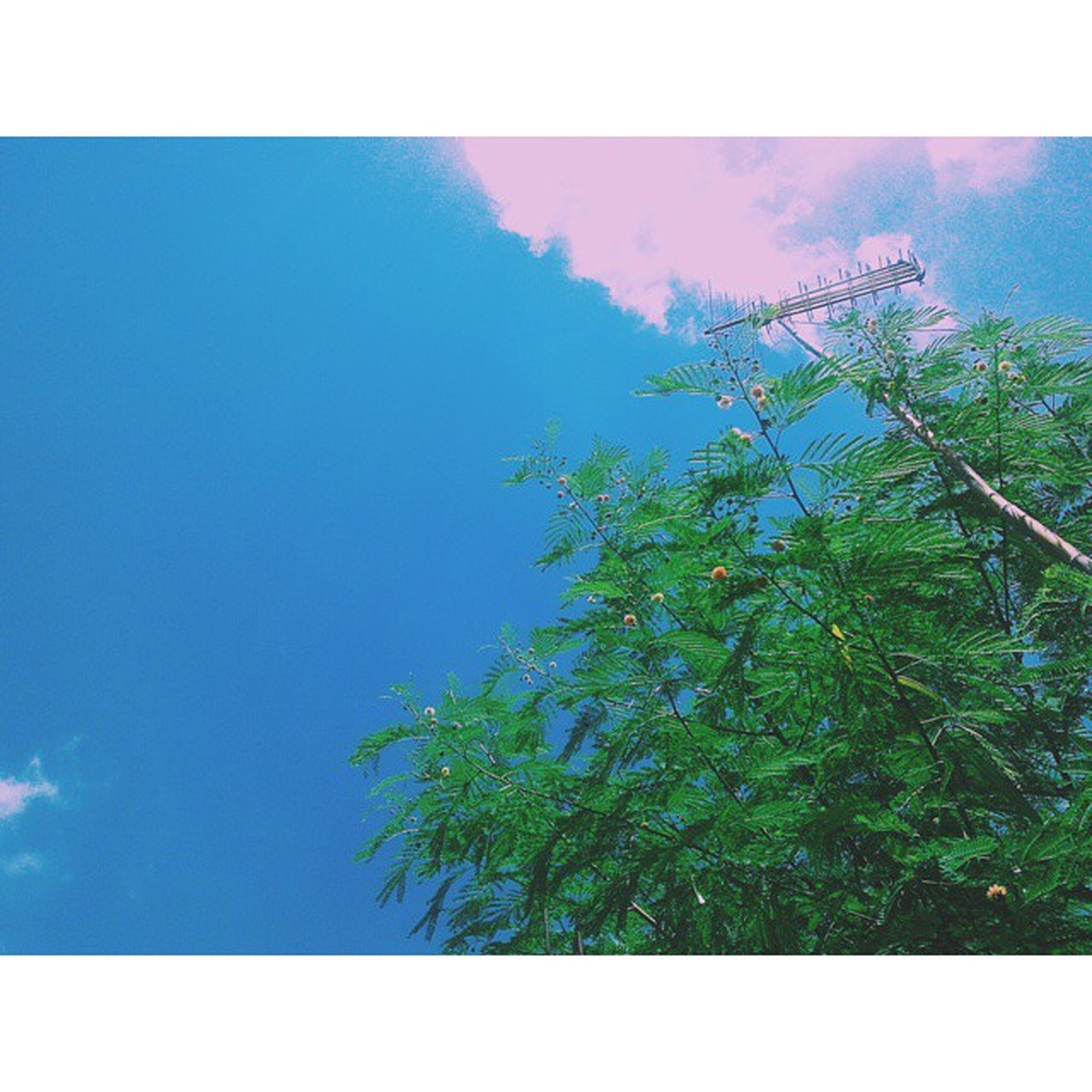 transfer print, tree, low angle view, auto post production filter, sky, growth, tranquility, blue, nature, beauty in nature, tranquil scene, scenics, green color, branch, clear sky, day, outdoors, no people, sunlight, idyllic