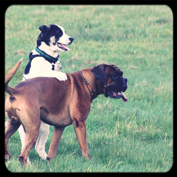 Friends Boxer Dogs Dog I Love My Dog Dogs