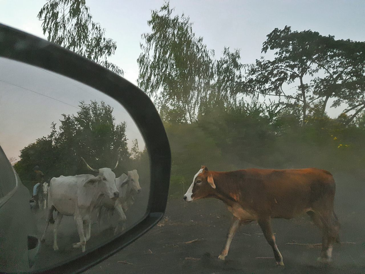 Reflection Nicaragua Vacations Animals In The Wild Green Trees Nature No People Traveling Volcano National Park Country Cow Cows Cows In A Field Rural Mirror Mirror Reflection Mirror Picture Mirror Effect Mirror Image