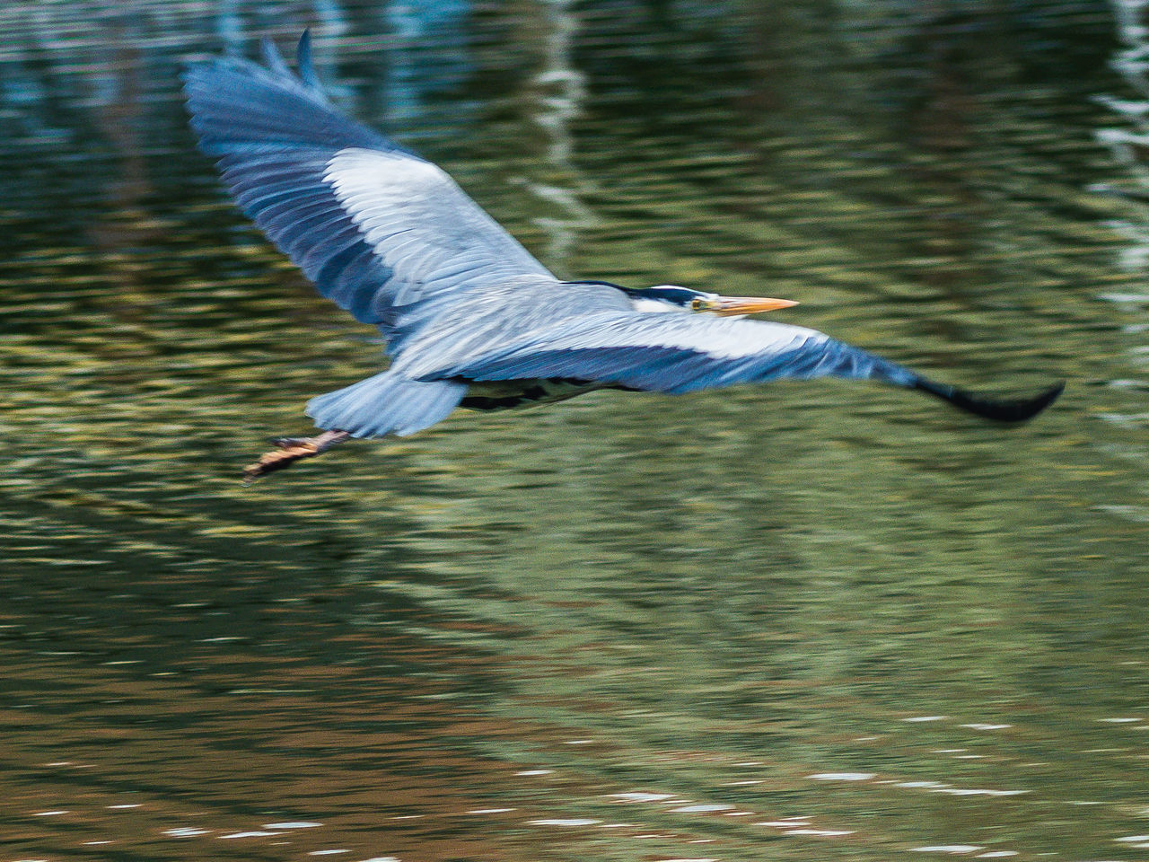 spread wings, one animal, bird, animal themes, flying, animals in the wild, waterfront, nature, water, lake, day, mid-air, outdoors, no people, beauty in nature