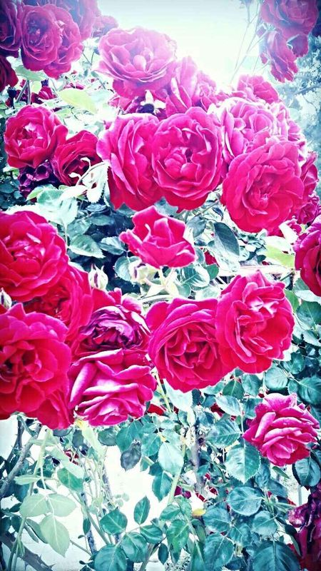 Flower Rose - Flower Petal Red Fragility No People Beauty In Nature Nature Pink Color Petals Multi Colored Rose Petals Day Close-up Outdoors Freshness Sun Summer Summertime Sunset Summer Views Sky Tranquility Blossom Bloom Live For The Story BYOPaper! Visual Feast EyeEmNewHere
