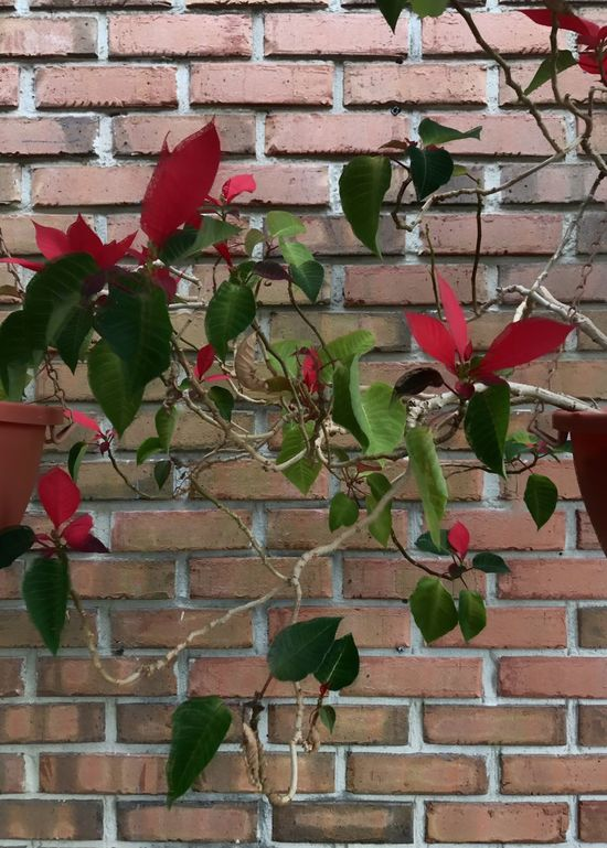 Poinsettia blooming against a brick wall. Poinsettia Potted Plant Brick Wall Red Building Exterior Built Structure Architecture Leaf No People Outdoors