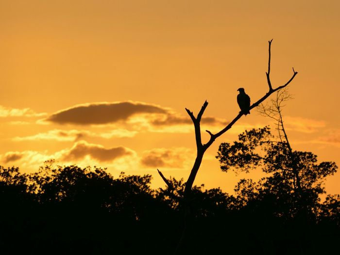 Sunset Silhouette Osprey  Bird Photography Perching Bird Trees Sky And Clouds Your Ad Goes Here Happy Halloween Golden Hour Landscapes With WhiteWall 43 Golden Moments
