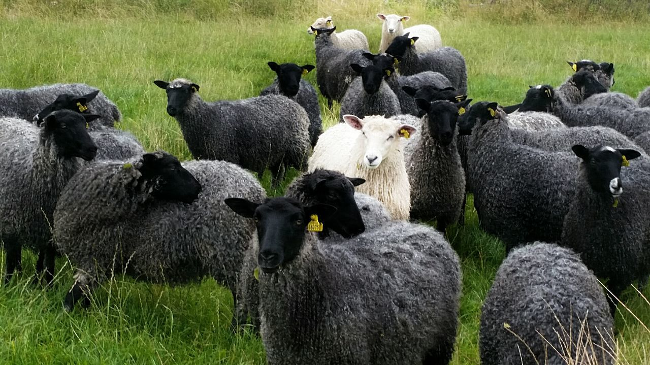Animal Themes Domestic Animals Sheep Flock Of Sheep Domestic Cattle Grassy Herd Togetherness Black And White Poetry Ba, Ba, Black Sheep