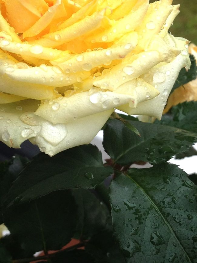 Close-up Freshness Water Plant Botany Beauty In Nature Snack No People Flower Head rose roses yellow