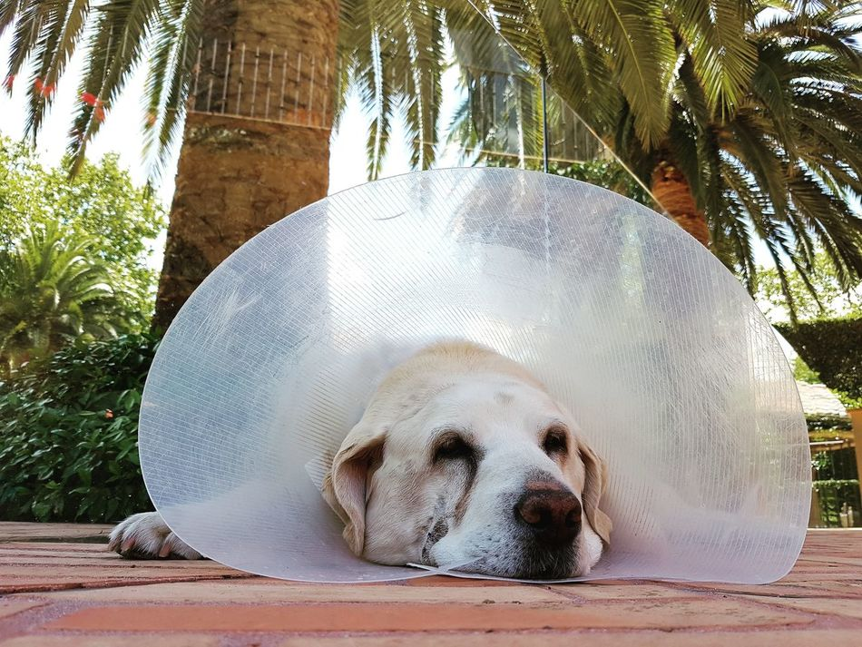 Palm Palm Trees Animals In The Wild No People Tree Close-up Day Outdoors Labrador LabradorRetriever Sick Sad Dog Dog Love Dogslife Sick Dog Unwell Animal Themes Conehead Vet  Veterinarian Animal Petslife Sadness Dog Sadness In Eyes
