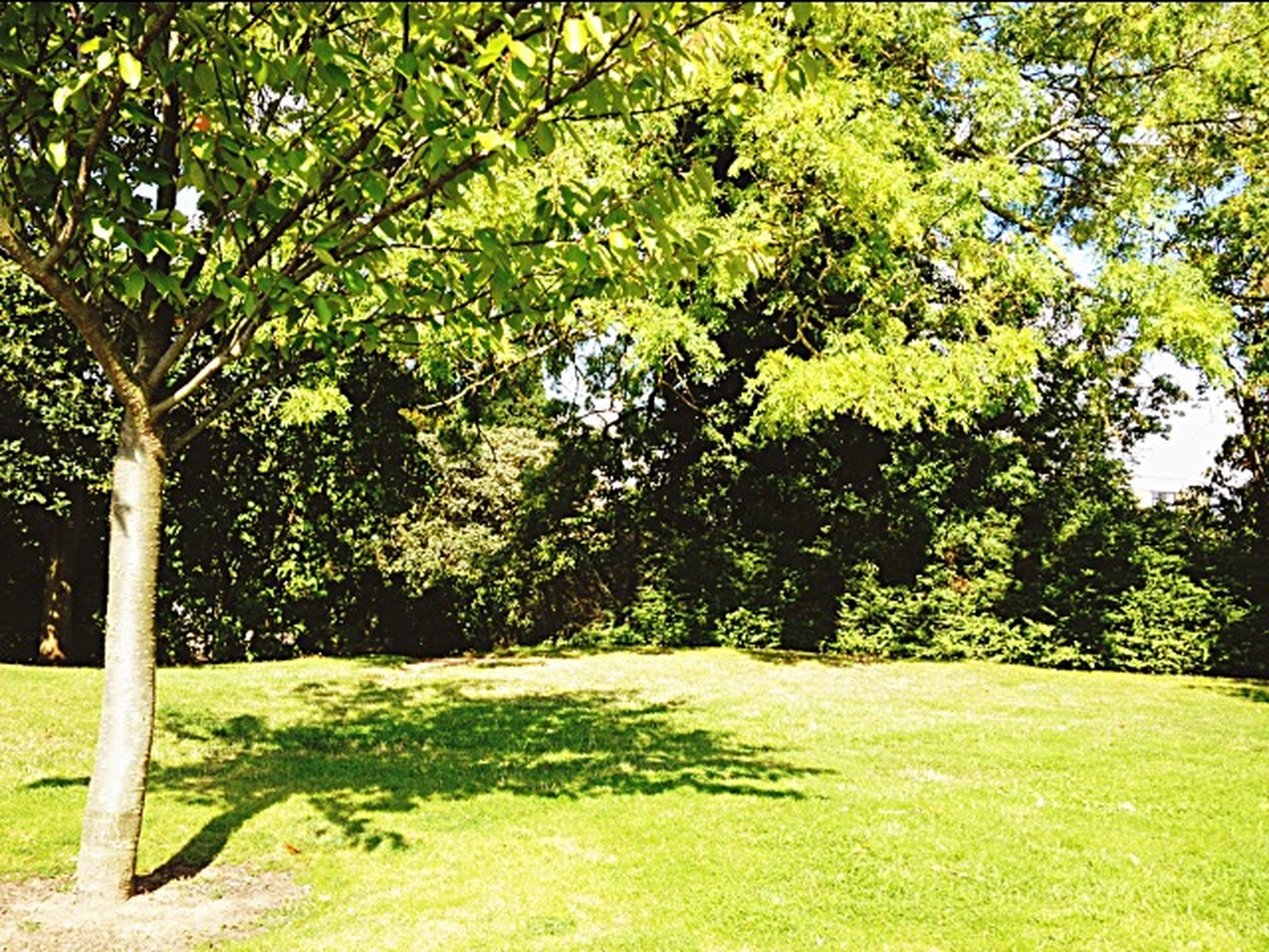 tree, green color, growth, grass, park - man made space, tranquility, branch, nature, park, tree trunk, beauty in nature, sunlight, lush foliage, tranquil scene, street light, green, scenics, day, outdoors, shadow