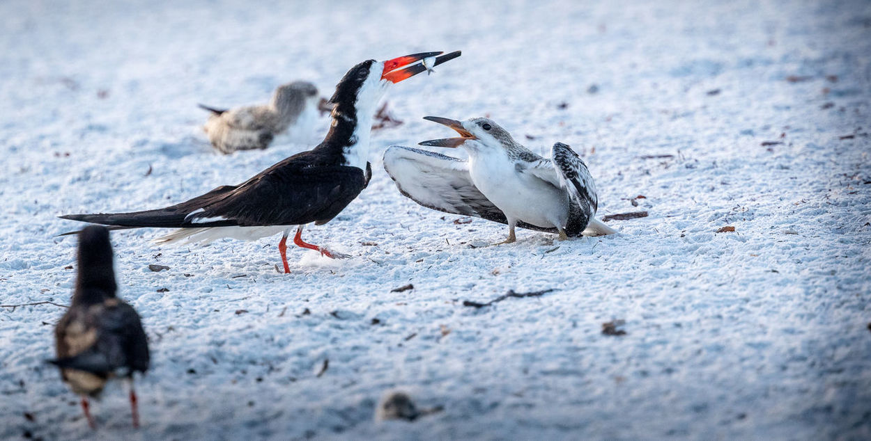 Black Skimmer with young Feeding  Animal Themes Animal Wildlife Animals In The Wild Beach Bird Chick Day Fish Nature No People Outdoors Sand Skimmer Water The Week On EyeEm