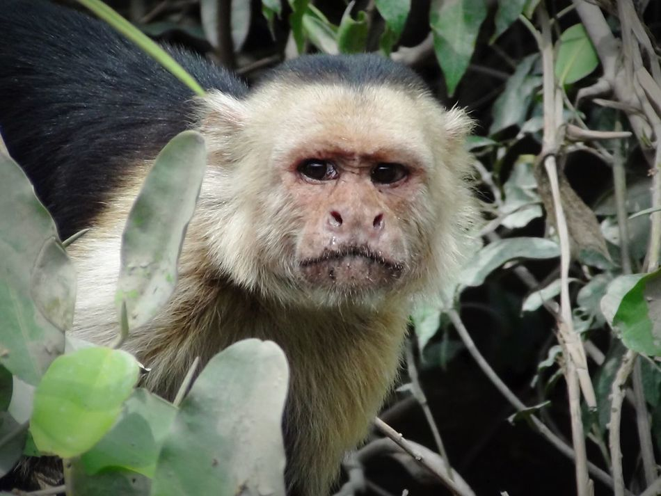 Monkey Monkey Close-up Protective Intense Look Jungle Animal Jungle Look-out Lookout Scanning Instinct