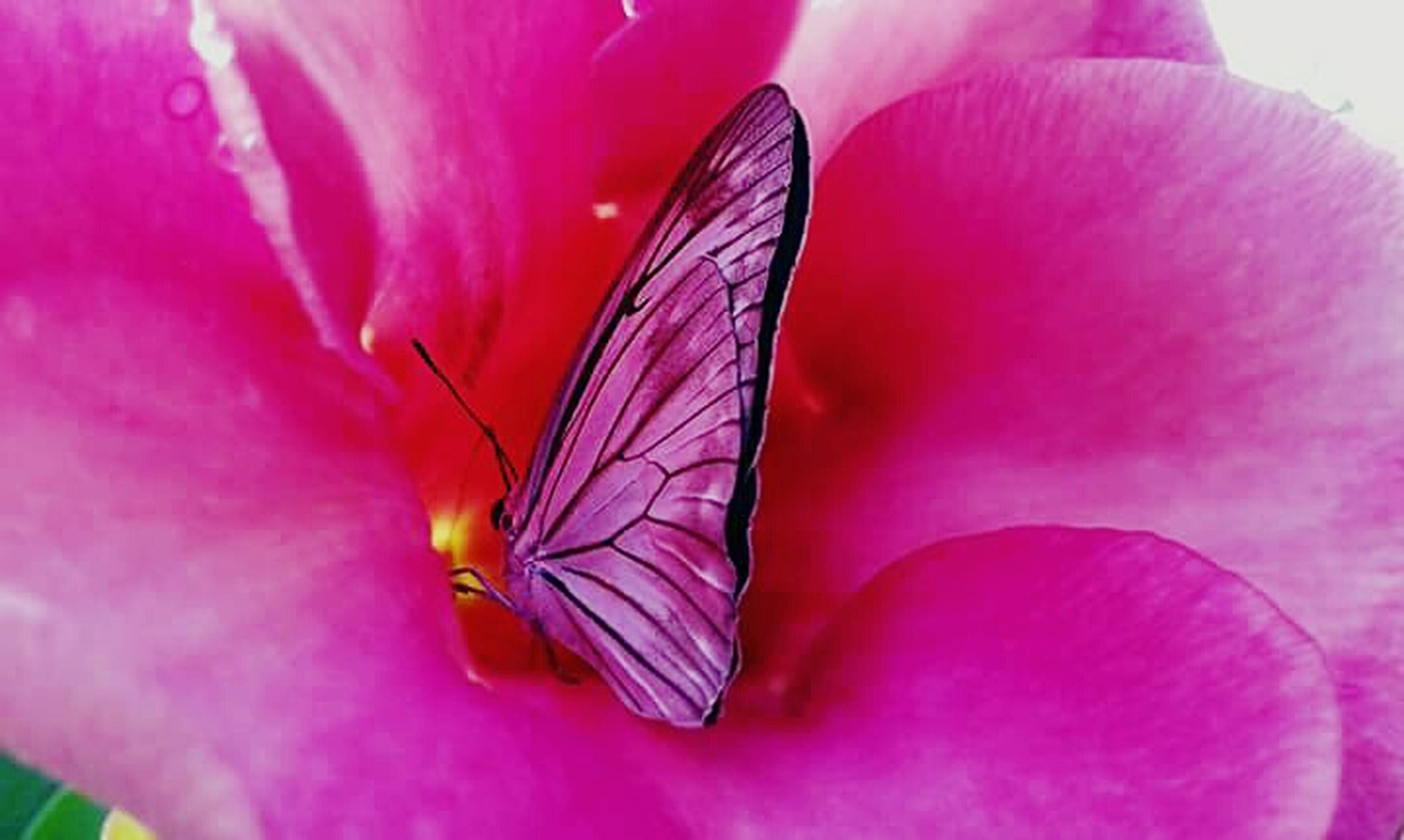 flower, one animal, insect, animals in the wild, animal themes, wildlife, petal, fragility, pink color, beauty in nature, freshness, close-up, flower head, nature, butterfly, butterfly - insect, single flower, growth, pollination, natural pattern