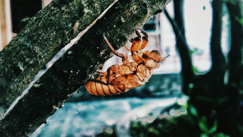 EyeEm Selects Cicada Balmcricket Corpses Cadaver Carcase Animal Animal Photography Animalphoto Animal Love Nature Nature Photography Naturephoto Naturephotograpy Picoftheday VSCO Close-up The Week On EyeEm The Week on EyeEm Editors Picks