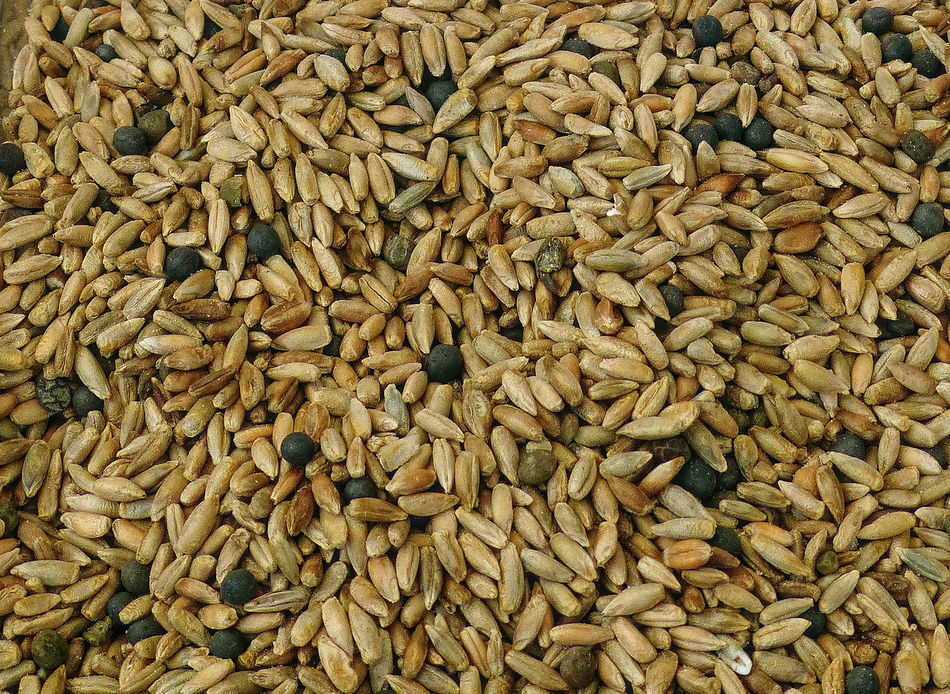 close-up of biological rye grains Abundance Affinity Photo Agriculture Biological Biological Farming Biological Food Cereal Grains Cereal Plant Close-up Farming Farming Vehicles Food Full Frame Grain Healthy Eating Large Group Of Objects Nature No People RYE Rye Grains Seed Tonemapping Wheat