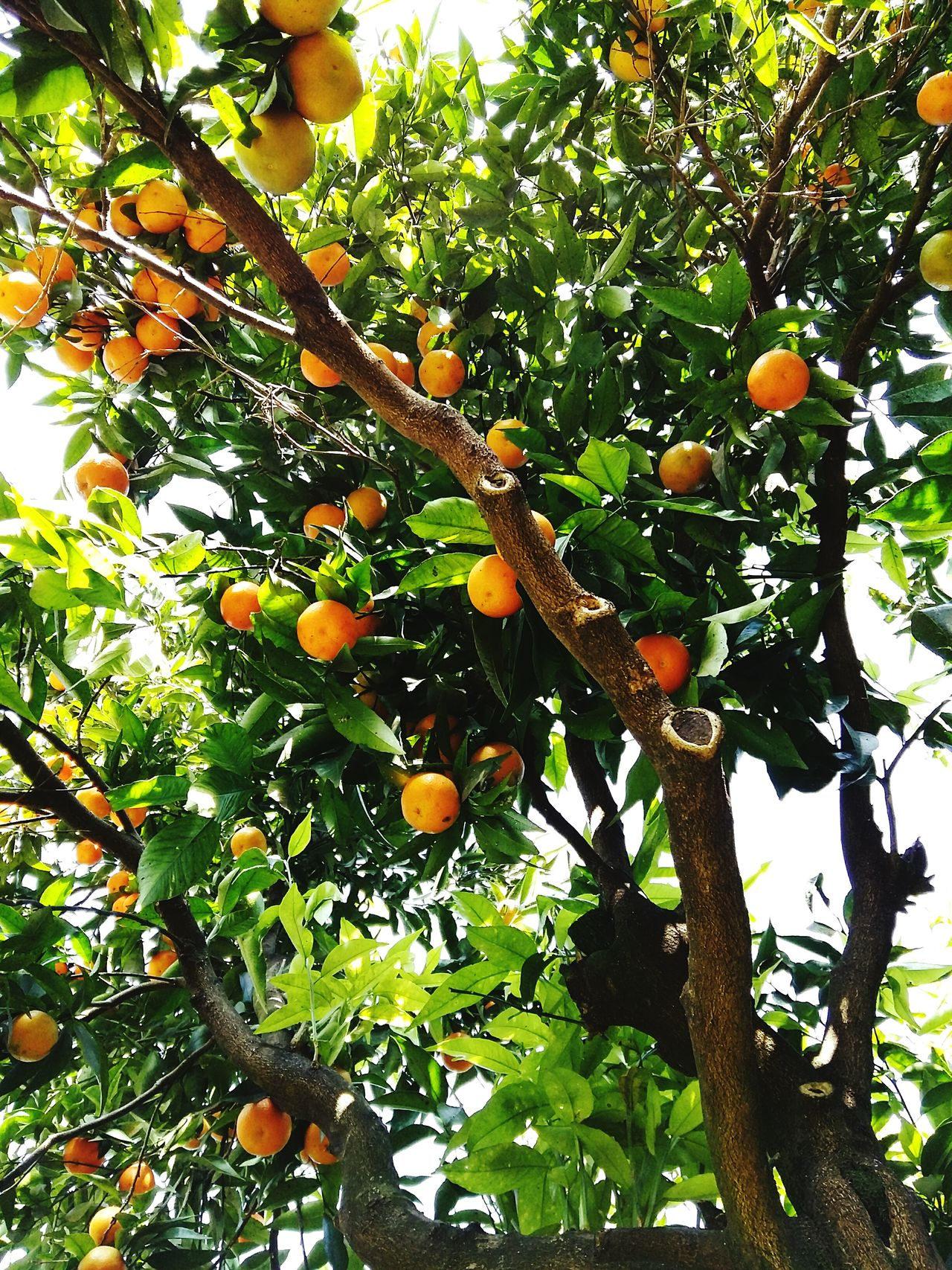 Fruits Fruit Nature Citrus Fruit Tree Growth Orange - Fruit Orange Tree Lemon Nature Freshness Food And Drink Green Color Food No People Picoftheday Eyeem Best Shot Colors Style Photography Casal Di Principe Garden_world Garden Flower