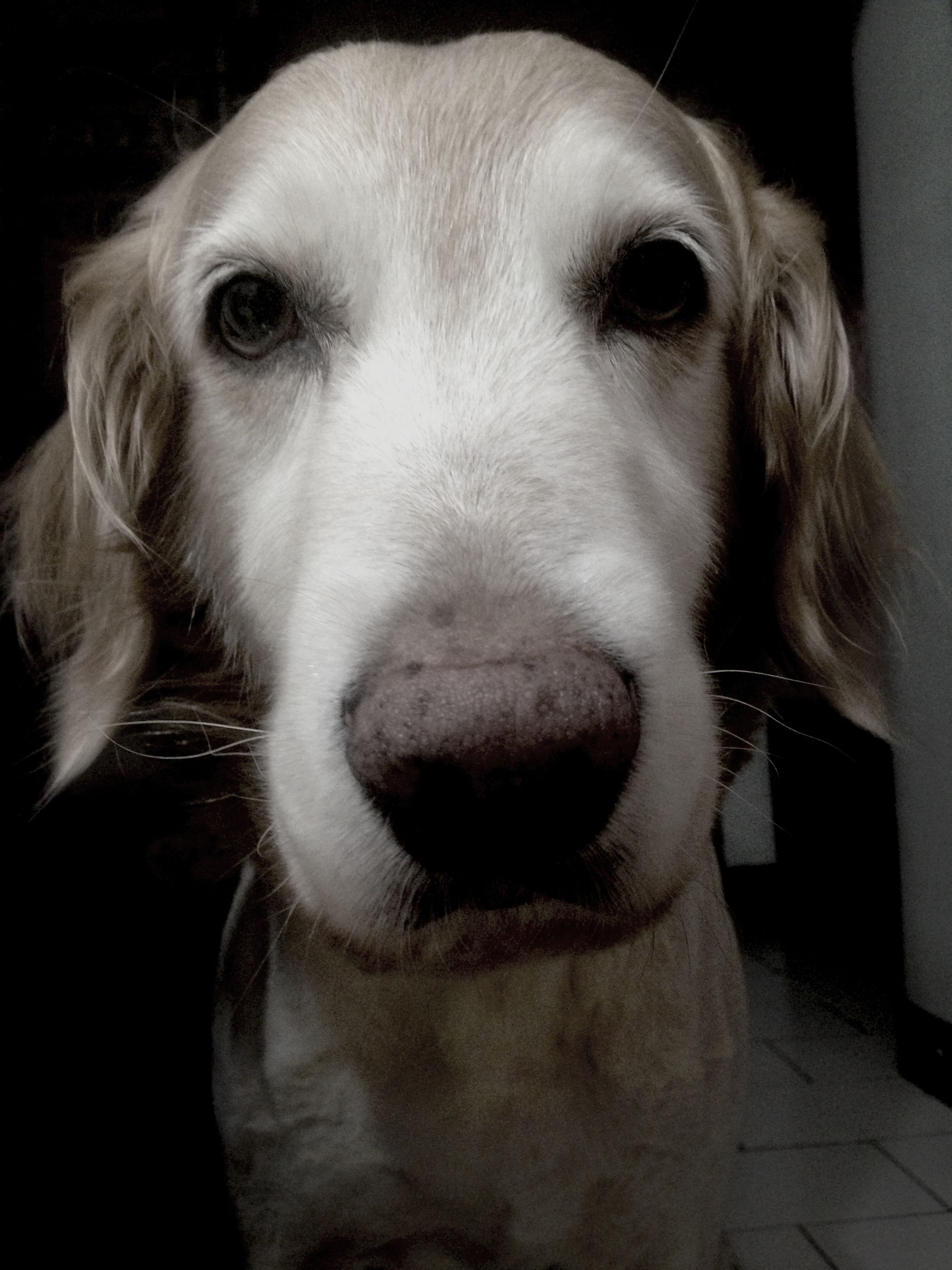 dog, animal themes, one animal, domestic animals, pets, mammal, close-up, animal head, indoors, portrait, animal body part, looking at camera, snout, loyalty, animal hair, focus on foreground, animal nose, front view, pampered pets