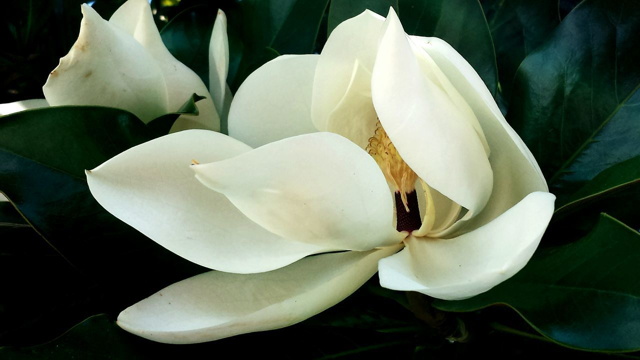Beautiful stock photos of magnolia, Beauty In Nature, Bloom, Close-Up, Flower