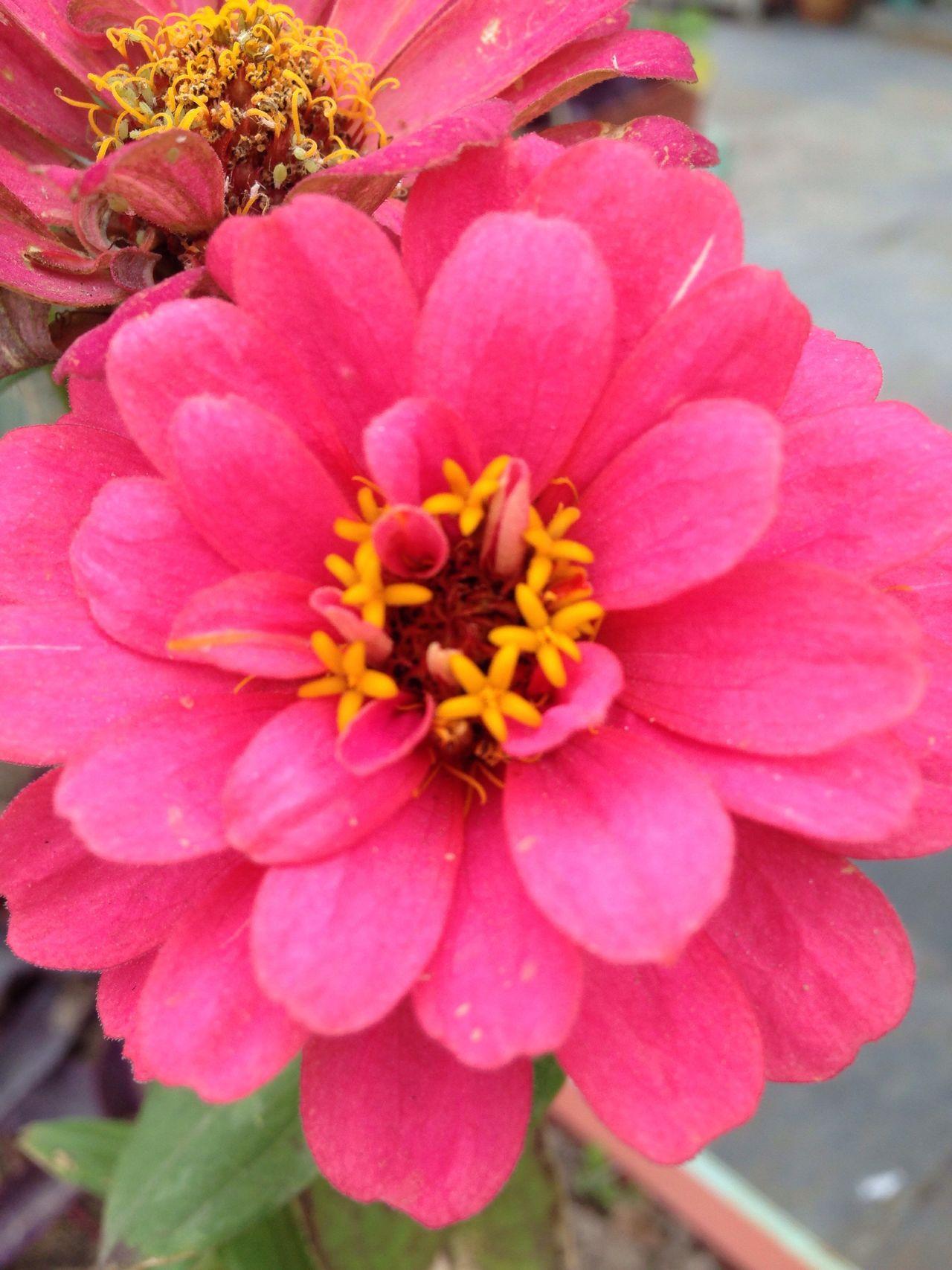 Flower Petal Beauty In Nature Flower Head Pink Color Close-up Kuwait Nature Freshness Outdoors Pollen الكويت Kuwait City