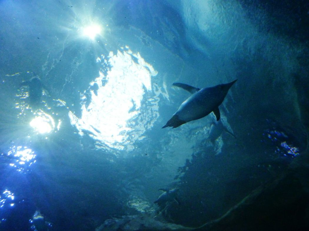 Underwater UnderSea Sea Life Sea Swimming Fish Animals In The Wild Animal Wildlife Scuba Diving Nature No People Animal Themes Blue Low Angle View Water Outdoors Day Mammal Panguin Zoo