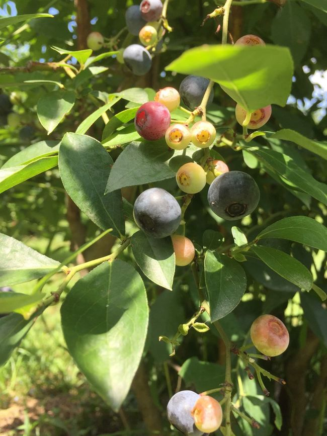 太陽 暑い Nara,Japan Blueberry かわいい 美味しい