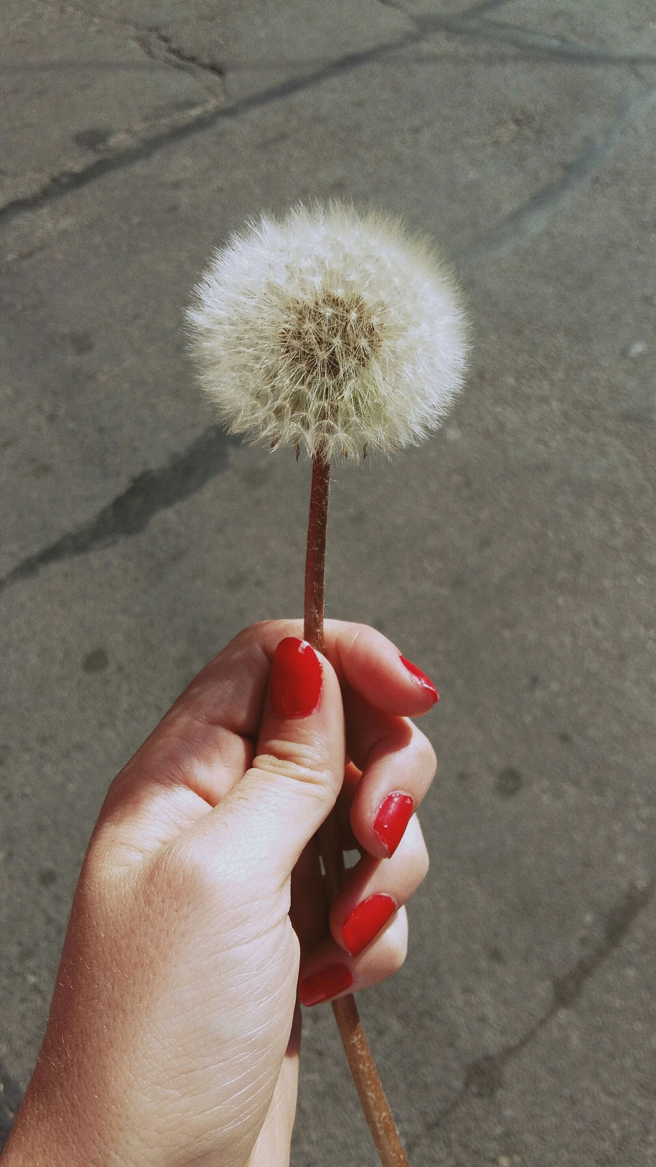 person, holding, flower, part of, cropped, freshness, close-up, single flower, human finger, red, flower head, unrecognizable person, stem, dandelion, fragility, personal perspective, day