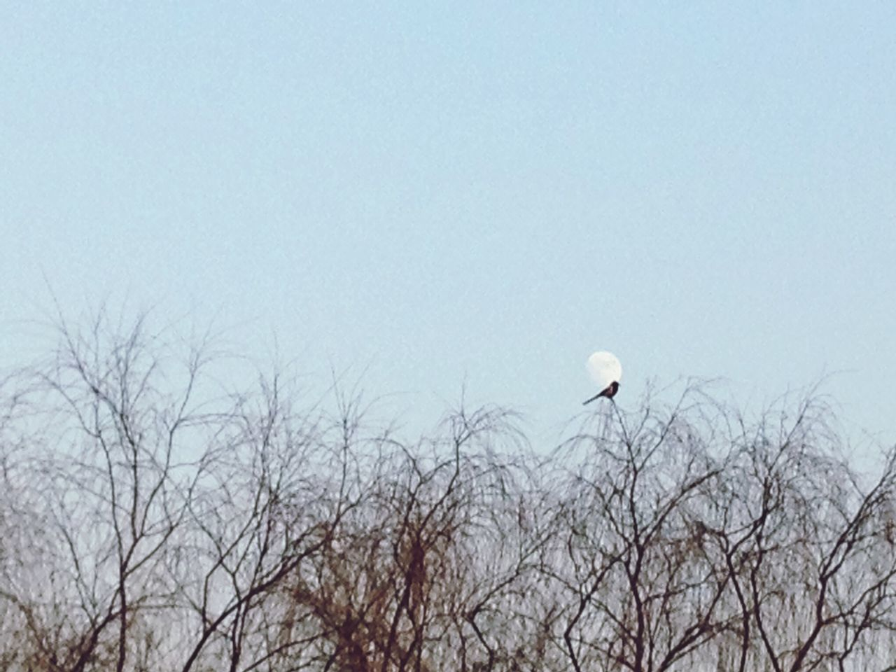 bare tree, nature, flying, day, bird, clear sky, tree, outdoors, moon, no people, beauty in nature, sky, animal themes