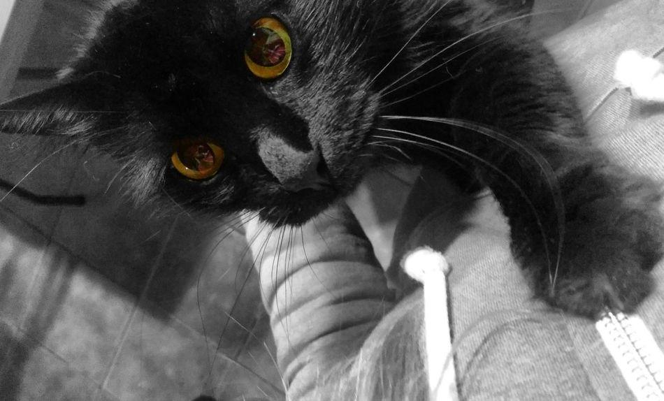 Black BLackCat Pets Domestic Cat Feline Animal Themes Looking At Camera