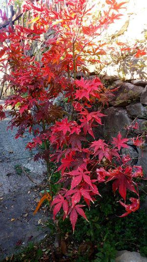 My beautiful osakazuki acerAcer Palmatum Osakazuki Acer Acerphotography Japan Acer Tree Autumn Colors Beauty In Nature In The Wood Mygardentoday Acerorosso Acero Giapponese