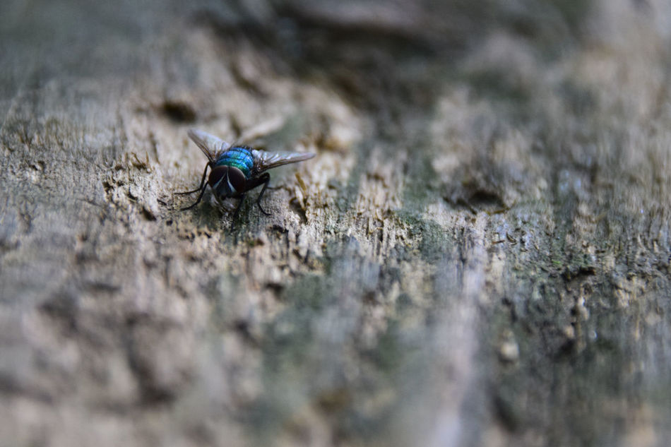 Beauty In Nature Blue Bottle Blue Bottle Fly Close-up Day Fly Focus On Foreground Insect Nature No People Outdoors Selective Focus