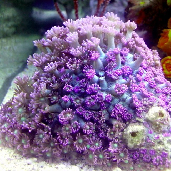 Ungu unyu Allshots All_shots Saltwatertank Indonesia_allshots Akuarium Laut Akuarium Hobbies Goniopora KORAL Marinelife