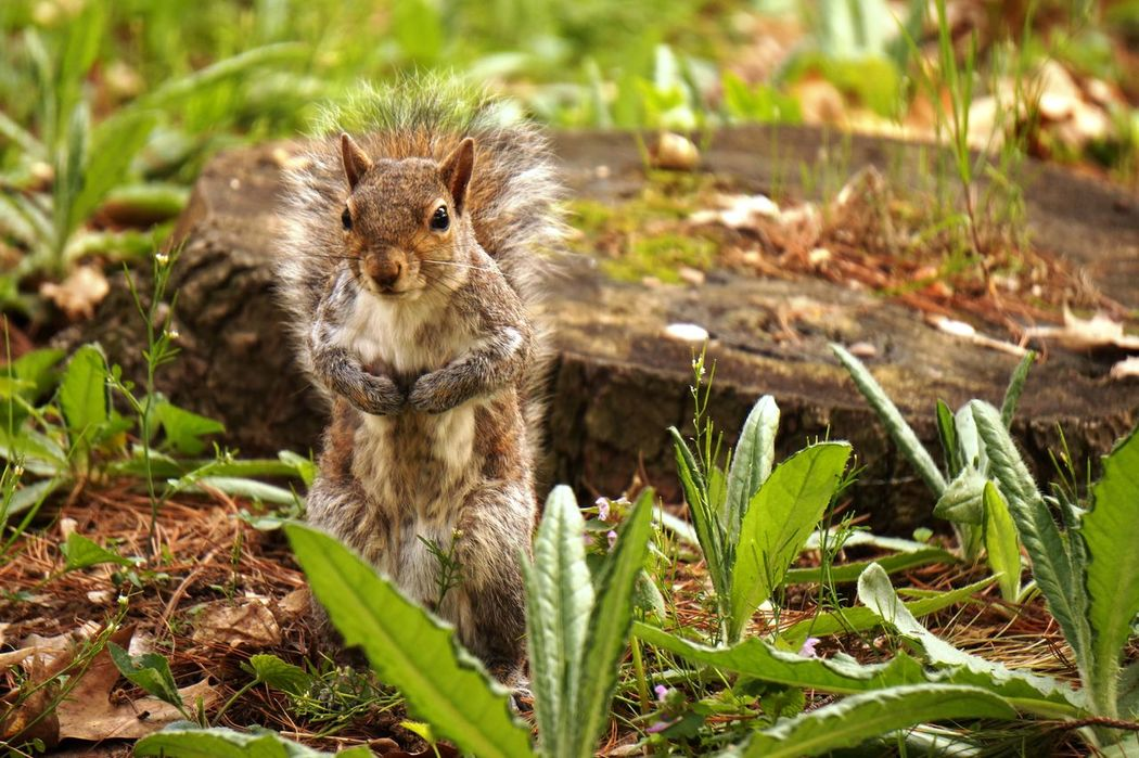 Animal Wildlife Animals In The Wild Natura Nature One Animal Outdoors Parco Castello Scoiattolo Squirrel