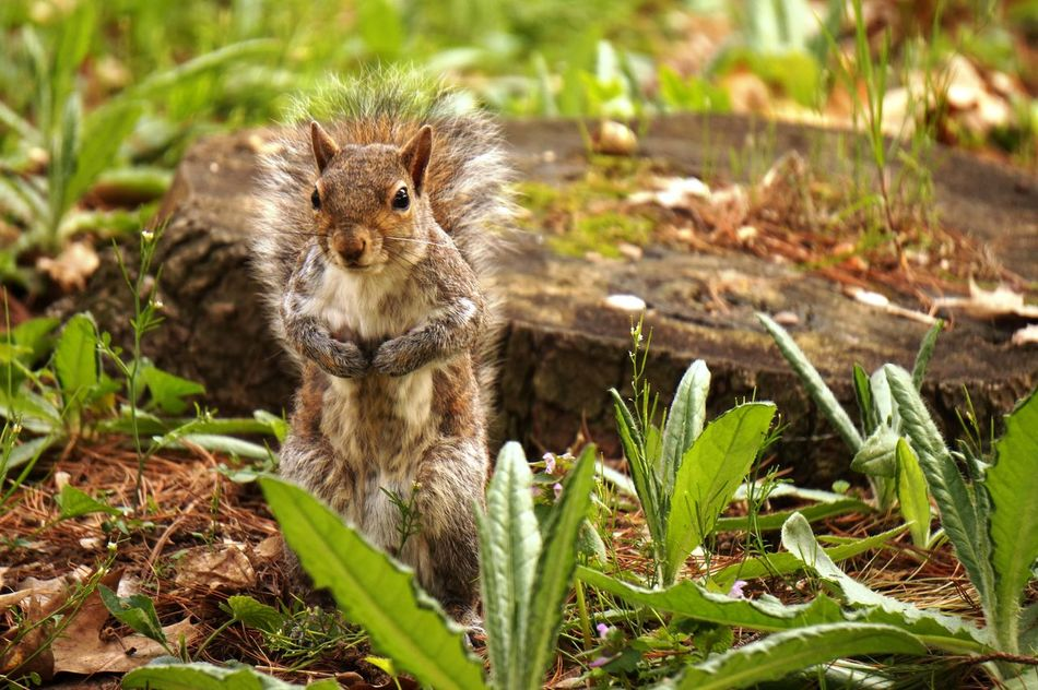 Animal Wildlife Animals In The Wild Natura Nature One Animal Outdoors Parco Castello Scoiattolo Squirrel